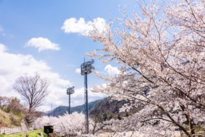 桜とグラウンド