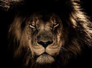 睨んでいるライオン