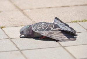疲れて休んでいる鳩